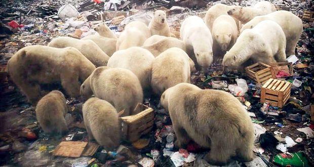 Gli orsi polari rovistano tra i rifiuti in una discarica del villaggio